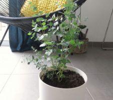 Eucalyptus !
