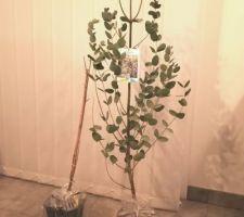 Eucalyptus Gunnii de chez Willemse