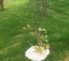 1er arbre planté aujourd?hui... Magnolia Susan !
