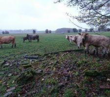 Ahh les vaches !