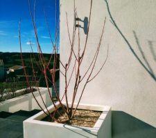 Saule en remplacement des bambous