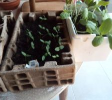 Cette année, j'ai aussi semé concombres et (courgettes à droite).