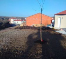 Plantation faite fin novembre de l'arbre c'est un Albizia Ombrela