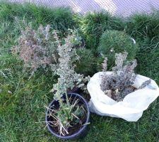 Plants enlevés du massif à côté de la piscine : fusain rampants, gazon espagnol, ancolie