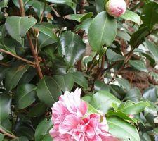 Début de la floraison du camélia.