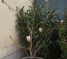 Floraison du Magnolia Soulangéana.