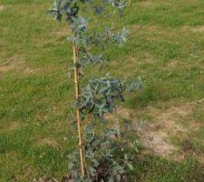 Eucalyptus planté