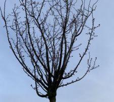 Prunus Cerasifera Nigra 3 mois après plantation... la 1ère floraison se prépare !