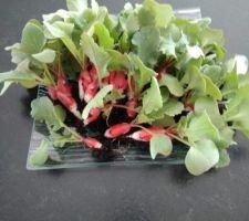 1ère récolte de radis de l'année