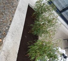 Bambous Étape 1:  Après l'achat on fait les 3 trous et on plante!