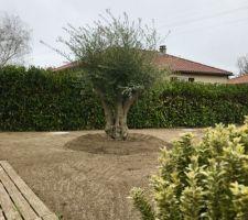 Olivier Olea Europaea des montagnes catalanes (env. 80/90 ans) de la jardinerie Miachon (69700 MONTAGNY) 1er plan : Fusain du japon (euonymus japonicus microphyllus aurea)