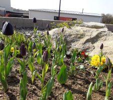 Mes belles tulipes  Jardin 2019