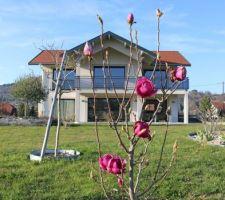 Début avril, les boules éclatantes du magnolia Cleopatra, annonciateur du printemps !