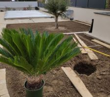 Cycas revoluta ( je précise ce n'est pas un palmier)