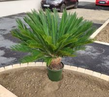 Plantation d'un Cycas revoluta ( je précise ce n'est pas un palmier)