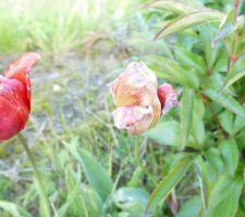 Le feu des tulipes
