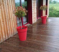 Photinia x fraseri tiges en pots pour peupler la terrasse