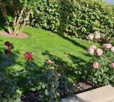 Floraison des rosiers.