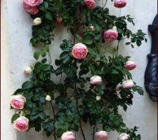 Pierre de Ronsard en fleur...