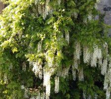 Petit tour dans mon ancien jardin. La glycine penche sous le poids des branches...