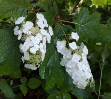 Hydrangea à feuille de chêne Snow flake