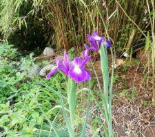 Iris de Hollande (en vrai bleus !)
