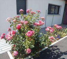 Le rosier de maman  s'épanouit sous le soleil d echarente maritime