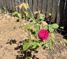 Rose tout juste éclose