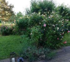 Le jardin, A+7 : Pierre de Ronsard en fleurs