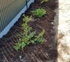 Plantation arbusted