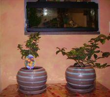 1 citronnier et un oranger offert pour notre crémaillère et un an dans la maison...