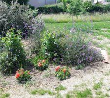 Pelargoniums et verveine de Buenos aires