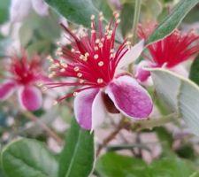 Premières fleurs de fejoïa