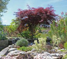 Dans le Jardin Sec aux euphorbes, érable 'Inaba Shidare'