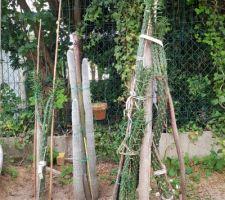 Les plus grands cactus récupérés de chez mes parents.