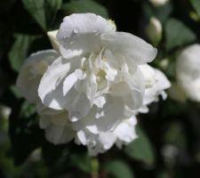 Fleur parfumée de Seringat virginalis