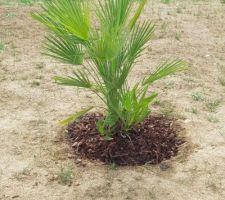 Palmier planté...