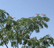 Premières fleurs de l?Albizia