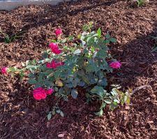 Roses (Rosa 'Crazy Pink Voluptia')