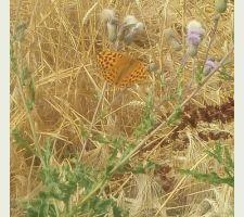 Les papillons de notre jardin