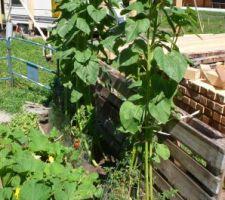 Tournesols sur le point de fleurir : ils tiennent les tomates