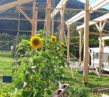 Jardin au 17 août 2019 : tournesols en fleurs