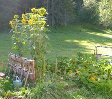 La belle lumière du matin sur les tournesols et le jardin