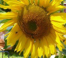 Plusieurs sortes d'insectes sur les tournesol (dont des abeilles domestiques) : il y a la place, c'est le Biocoop mellifère