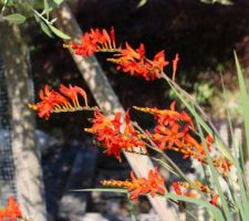 Crocosmia orange