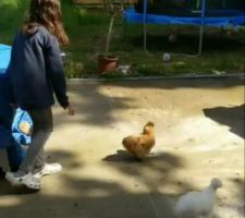 Mes anciennes poules beaucoup plus belles et surtout elles pondaient des oeufs elles :(