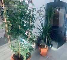 Mes cadeaux d'anniversaire, un rosier grimpant pour l'extérieur et une autre plante (dont je ne connais pas le nom) pour l'intérieur.