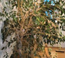 Ficus en perdition
