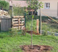 Cerisier planté
