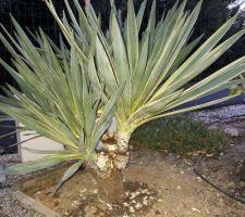 Yucca nettoyé de ses feuilles, ça me plait bien